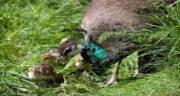 تعبیر خواب جوجه طاووس ، معنی دیدن جوجه طاووس در خواب های ما چیست