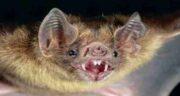 تعبیر خواب حمله خفاش ، معنی حمله کردن خفاش در خواب های ما چیست