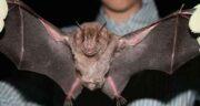 آمدن خفاش در خانه نشانه چیست ، در خواب و معنی دیدن خفاش سیاه و سفید
