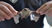 تعبیر خواب خفاش در خانه ، معنی دیدن خفاش در خانه خودمان چیست