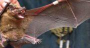 تعبیر خواب خفاش قهوه ای ، معنی دیدن و کشتن و گرفتن خفاش قهوه ای در خواب