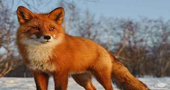 تعبیر خواب خوردن گوشت روباه ، معنی خوردن گوشت روباه در خواب های ما چیست