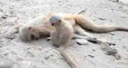 تعبیر خواب خوردن گوشت میمون ، معنی خوردن گوشت میمون در خواب چیست