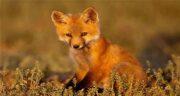 تعبیر خواب دم روباه ، معنی دیدن دم روباه در خواب های ما چیست