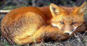 تعبیر خواب دیدن روباه قهوه ای ، معنی دیدن روباه قهوه ای در خواب های ما چیست