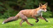تعبیر خواب دیدن روباه ، معنی دیدن روباه بزرگ و کوچک در خواب های ما چیست