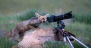 تعبیر خواب روباه در خواب ، معنی دیدن روباه در خواب چیست