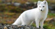تعبیر خواب روباه سفید ، معنی دیدن روباه سفید در خواب های ما چیست