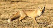 تعبیر خواب روباه مرده ، معنی دیدن روباه مرده در خواب های ما چیست