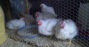 تعبیر خواب سر بریدن مرغ ، معنی بریدن سر مرغ و اردک در خواب های ما چیست