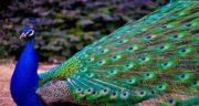 تعبیر خواب طاووس آبی ، معنی دیدن طاووس آبی در خواب های ما چیست