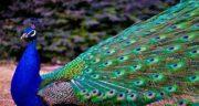 تعبیر خواب طاووس از حضرت یوسف ، ابن سیرین و امام صادق و منوچهر مطیعی