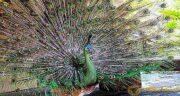 تعبیر خواب طاووس در حال پرواز ، معنی پرواز کردن طاووس در خواب ما چیست