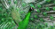 تعبیر خواب طاووس سبز رنگ ، معنی دیدن طاووس سبز رنگ در خواب ما چیست