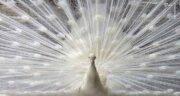 تعبیر خواب طاووس سفید ، معنی دیدن طاووس سفید در خواب ما چیست