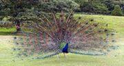 تعبیر خواب طاووس مرده ، معنی دیدن طاووس مرده در خواب های ما چیست