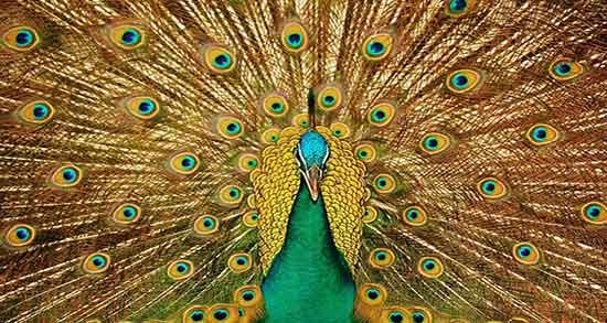تعبیر خواب طاووس نر ، معنی دیدن طاووس نر در خواب های ما چیست
