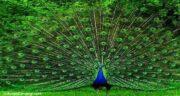 تعبیر خواب طاووس نورانی ، معنی دیدن طاووس نورانی در خواب های ما چیست