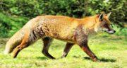 تعبیر خواب غذا دادن به روباه ، معنی غذا دادن به روباه در خواب های ما چیست