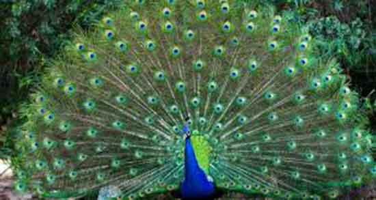 تعبیر خواب غذا دادن به طاووس ، معنی غذا دادن به طاووس در خواب ما چیست