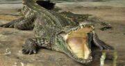 تعبیر خواب مدفوع تمساح ؛ معنی دیدن مدفوع تمساح در خواب های ما چیست