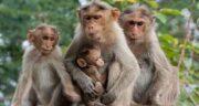 تعبیر خواب میمون در خانه ، معنی دیدن میمون در خانه چیست