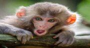تعبیر خواب میمون کوچک ، معنی دیدن میمون کوچک در خواب چیست