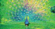 تعبیر خواب پرواز طاووس ، معنی دیدن پرواز طاووس در خواب های ما چیست
