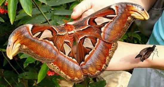 تعبیر خواب پروانه بزرگ ، معنی دیدن و گرفتن پروانه های بزرگ در خواب چیست
