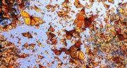 تعبیر خواب پروانه های زیاد ، معنی دیدن پروانه های زیاد و رنگی در خواب چیست