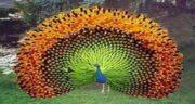 تعبیر خواب پر طاووس ، معنی دیدن پر طاووس در خواب های ما چیست