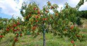 تعبیر خواب کاشتن درخت هلو ، معنی کاشتن درخت هلو در خواب چیست