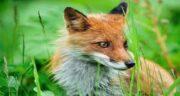 تعبیر خواب کشتن روباه ، معنی کشتن روباه در خواب های ما چیست