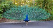 تعبیر خواب کندن پر طاووس ، معنی کندن پر طاووس در خواب های ما چیست
