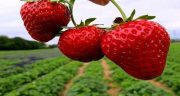 تعبیر خواب باغ توت فرنگی ؛ معنی دیدن باغ توت فرنگی در خواب چیست