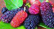 تعبیر خواب توت سیاه کندن از درخت ؛ معنی توت سیاه کندن از درخت در خواب