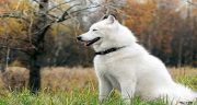 تعبیر خواب سگ سفید بزرگ ؛ معنی دیدن سگ سفید بزرگ در خواب های ما چیست