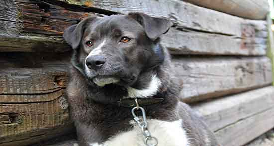 تعبیر خواب سگ سیاه و سفید ؛ معنی دیدن سگ سیاه و سفید در خواب چیست