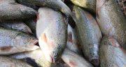 تعبیر خواب ماهی قزل آلا ؛ معنی دیدن و خوردن و گرفتن ماهی قزل آلا در خواب