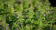 تعبیر خواب کاکوتی ؛ معنی دیدن گیاه کاکوتی در خواب های ما چیست