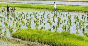 تعبیر خواب برداشت محصول برنج ، معنی دیدن برداشت محصول برنج در خواب