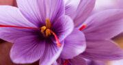 تعبیر خواب چیدن گل زعفران ، معنی دیدن چیدن گل زعفران در خواب های ما چیست