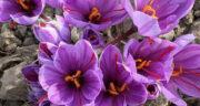 تعبیر خواب گل زعفران چیست ، معنی دیدن گل زعفران در خواب های ما چیست