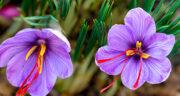 تعبیر خواب خریدن زعفران ، معنی دیدن خریدن زعفران در خواب های ما چیست