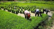 تعبیر خواب مزرعه برنج رسیده ، معنی دیدن مزرعه برنج رسیده در خواب ما چیست
