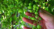 تعبیر خواب دیدن غوره انگور ، معنی دیدن غوره انگور در خواب های ما چیست