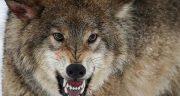 تعبیر خواب فراری دادن گرگ ، معنی دیدن فراری دادن گرگ در خواب های ما چیست
