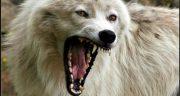 تعبیر خواب گرگ مرده ، معنی دیدن گرگ مرده در خواب های ما چیست