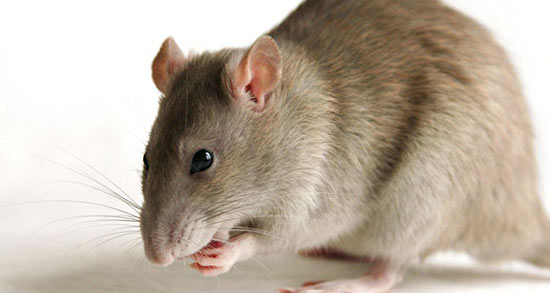 تعبیر خواب موش در زن باردار ، معنی دیدن موش در زن باردار در خواب ما چیست