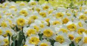 تعبیر خواب گل نرگس ؛ حضرت یوسف و کاشتن پیاز گل نرگس و رز و گرفتن از مرده